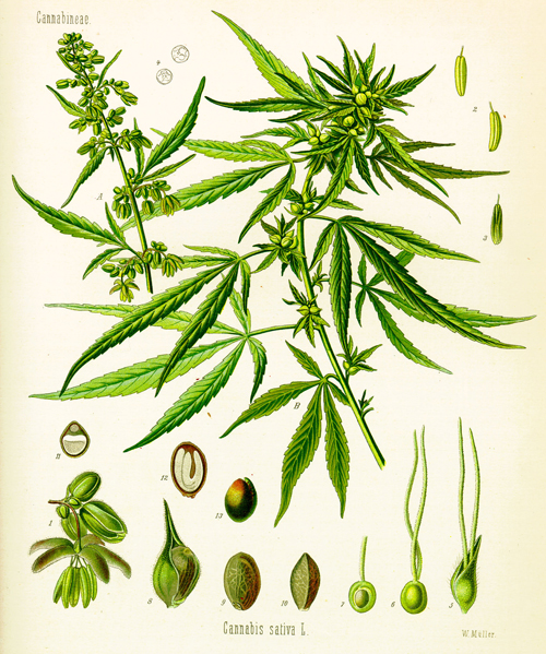 Cannabis et cancer des testicules