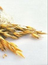 L'avoine et le gluten