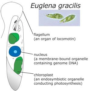 Euglène : un micro organisme révolutionnaire pour l'Humanité