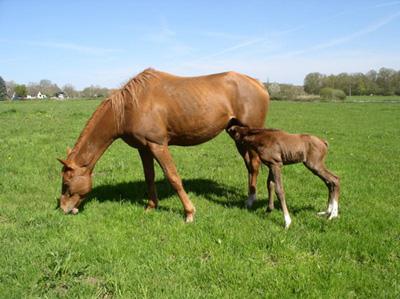 lait de jument © Photo : Greenhorn-horse-facts.com