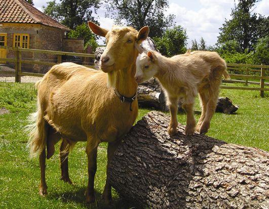 Des chèvres dans une ferme