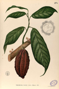 Cacao : riche en antioxydants