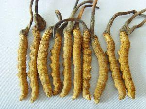 Cordyceps Sinensis : bienfaits du champignon ?