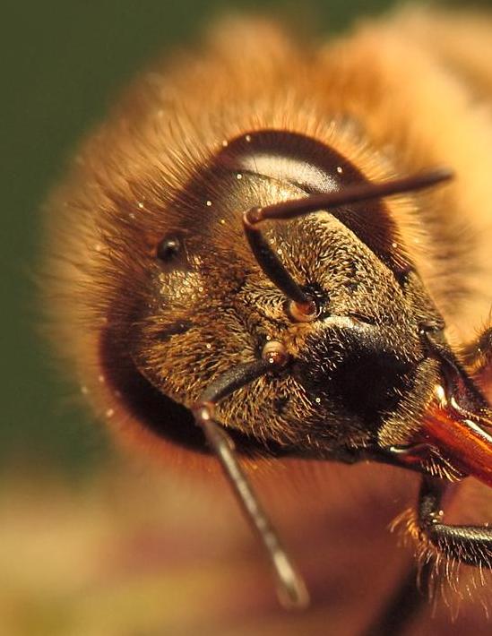 Une abeille butineuse