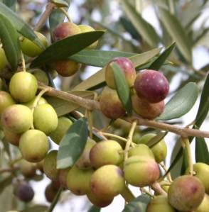 L'huile d'olive aurait un effet protecteur contre l'AVC