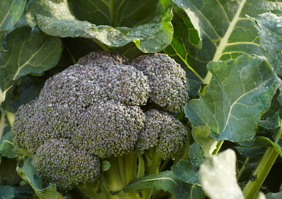 Le brocoli Beneforté anti cancer : fruit de la Recherche scientifique