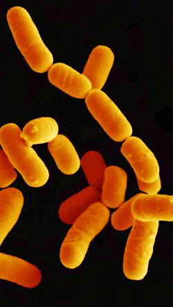 Probiotiques : lactobacillus rhamnosus