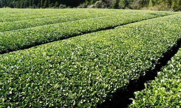 La culture du thé vert au Japon