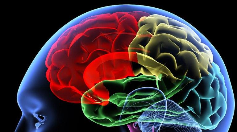 Le cerveau humain