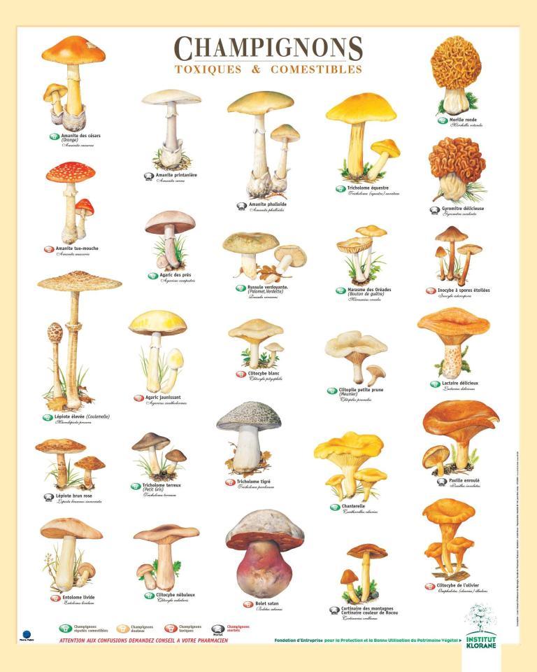Champignons toxiques et comestibles