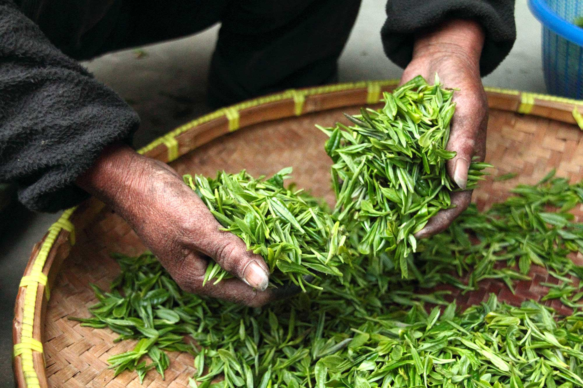 Thé vert : atouts santé et vertus