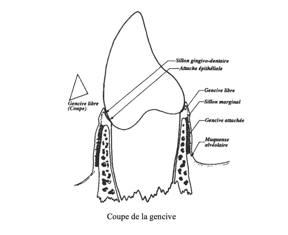 épithélium gingival