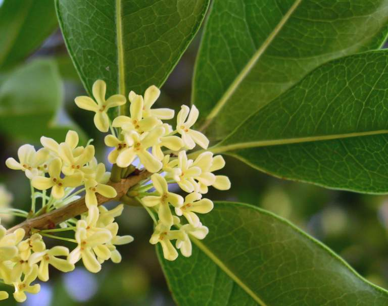 Osmanthus fragrans bio