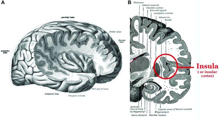 Cortex insulaire