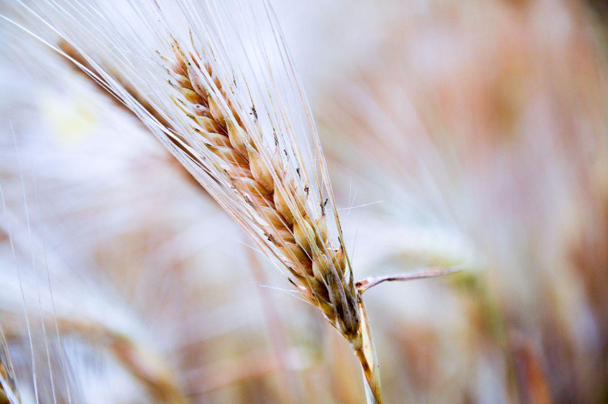 Les céréales complètes diminuent le risque de cancer colorectal