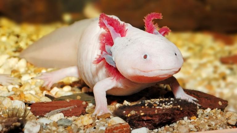Pourquoi certains organismes peuvent régénérer des parties de leur corps