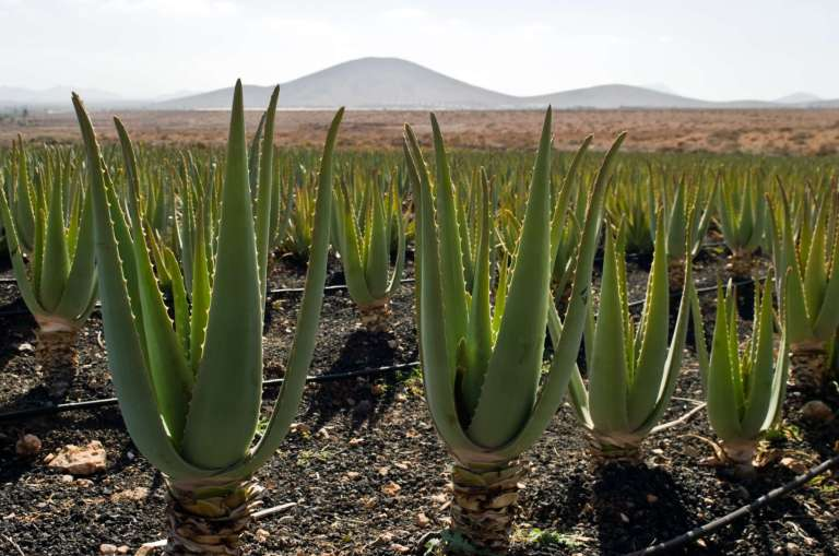 Aloe vera et agriculture biologique