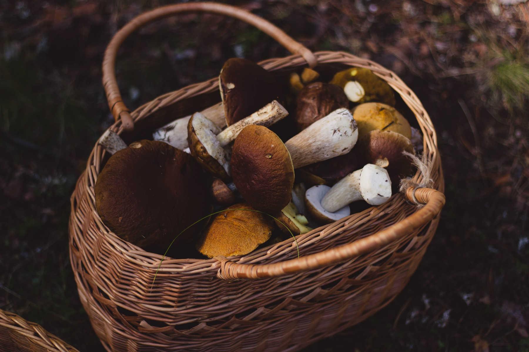 Les antioxydants des champignons luttent contre le vieillissement et les maladies neurodégénératives