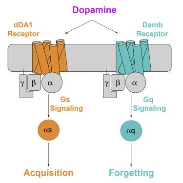 Dopamine Receptor DAMB Signals via Gq to Mediate Forgetting in Drosophila
