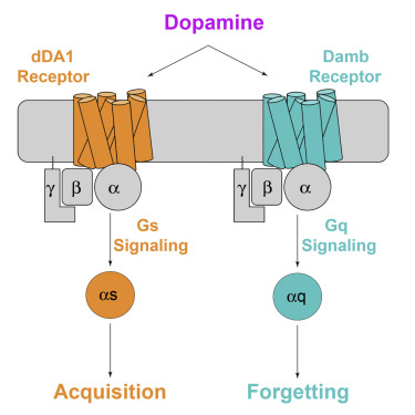 Dopamine Receptor DAMB Signals via Gq to Mediate Forgetting in Drosophila