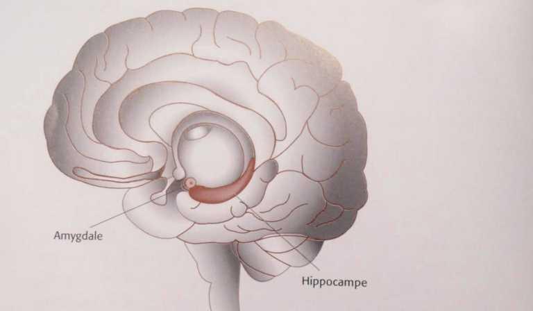 L'hippocampe dans le cerveau humain