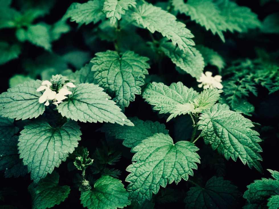 9 bienfaits santé de la tisane d'ortie