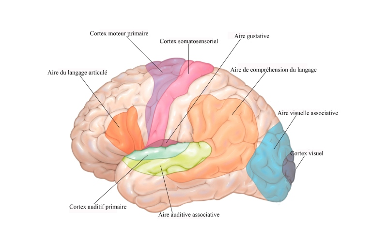La cartographie de l'attention sélective auditive du cerveau