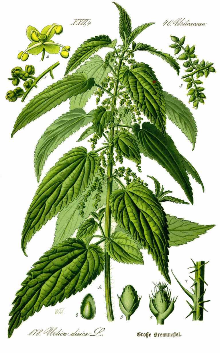 Ortie (urtica dioica)