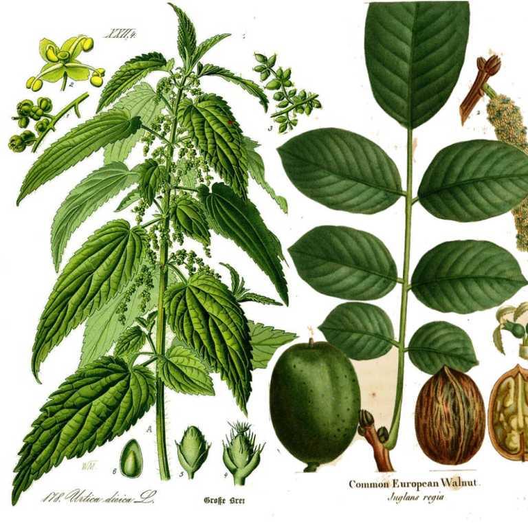 Urtica dioica L.