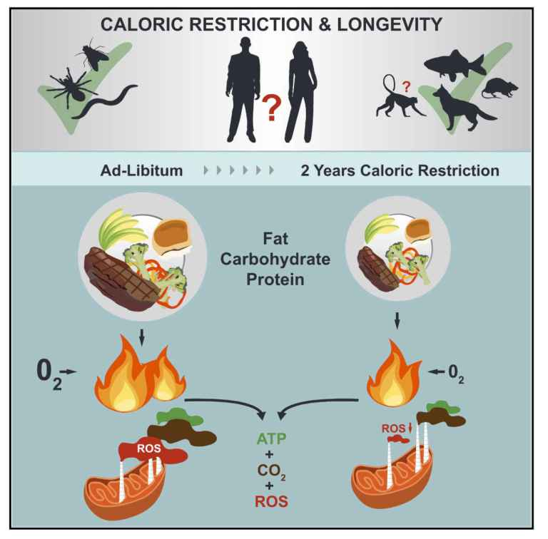 Bienfaits restriction calorique