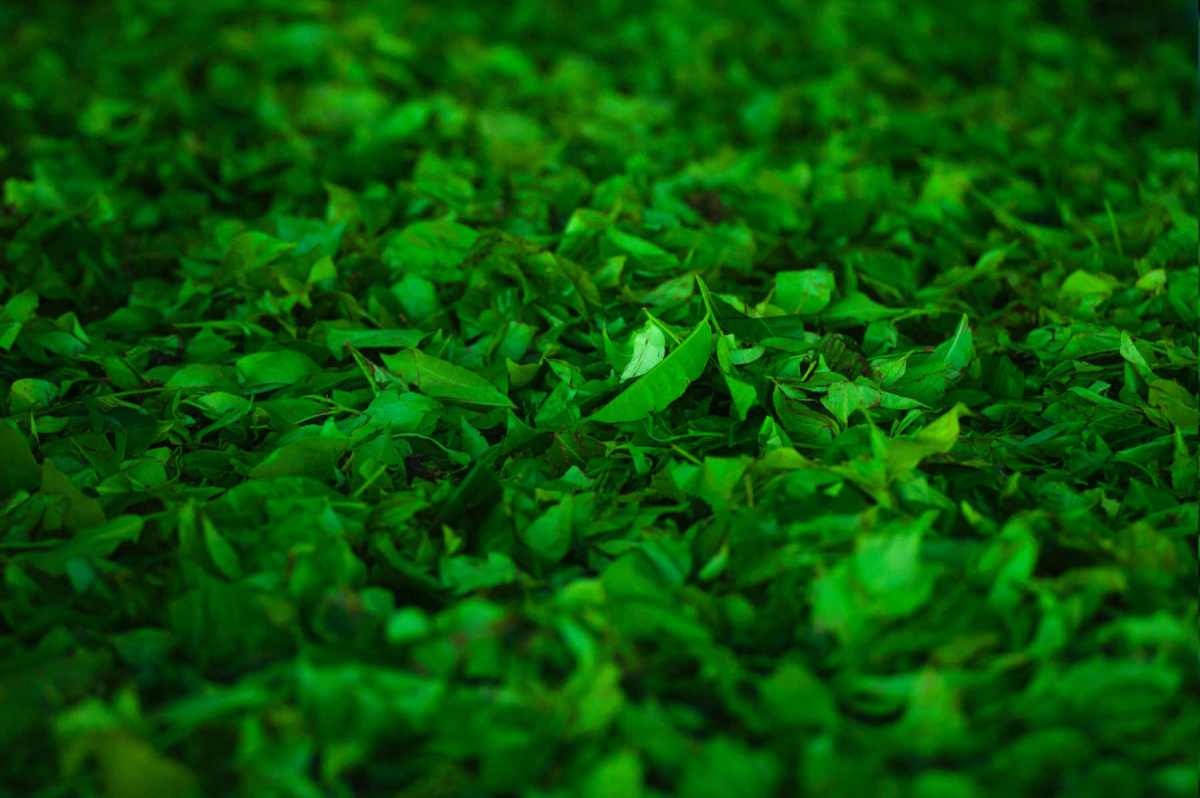 Les nanoparticules de feuilles de thé détruisent les cellules cancéreuses du poumon