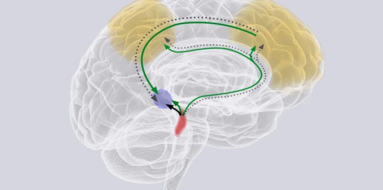 Le grand rôle d'une minuscule région cérébrale