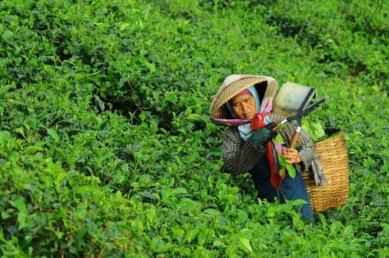 Théier chinois sauvage faible en caféine