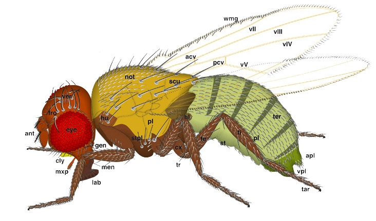 Mouche de fruits (drosophila)