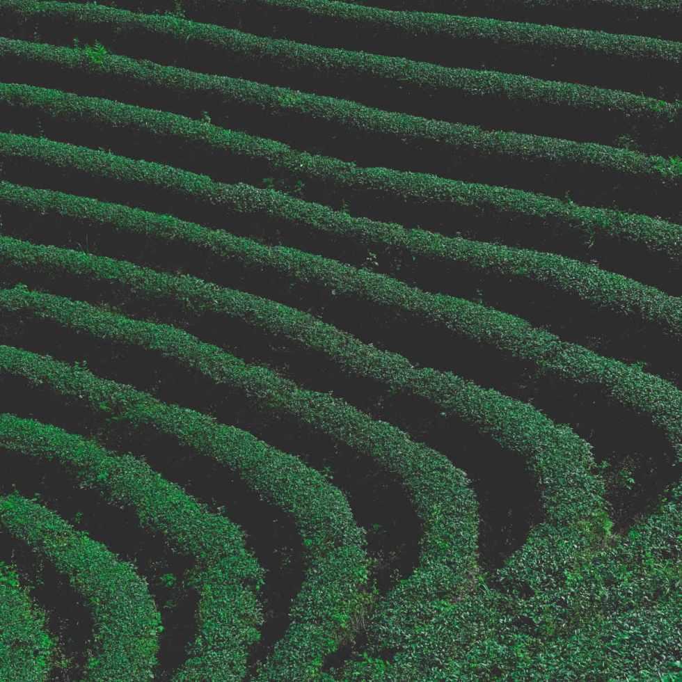 L'EGCG du thé vert pourrait prévenir les crises cardiaques