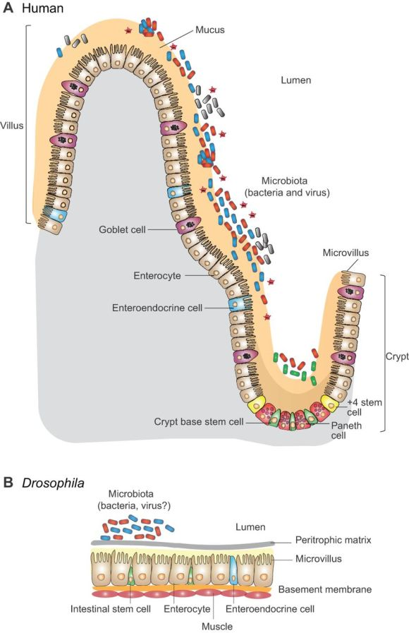 Syndrome métabolique, foie gras chez les mouches