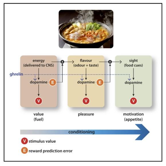 La ghréline améliore le conditionnement des odeurs de nourriture