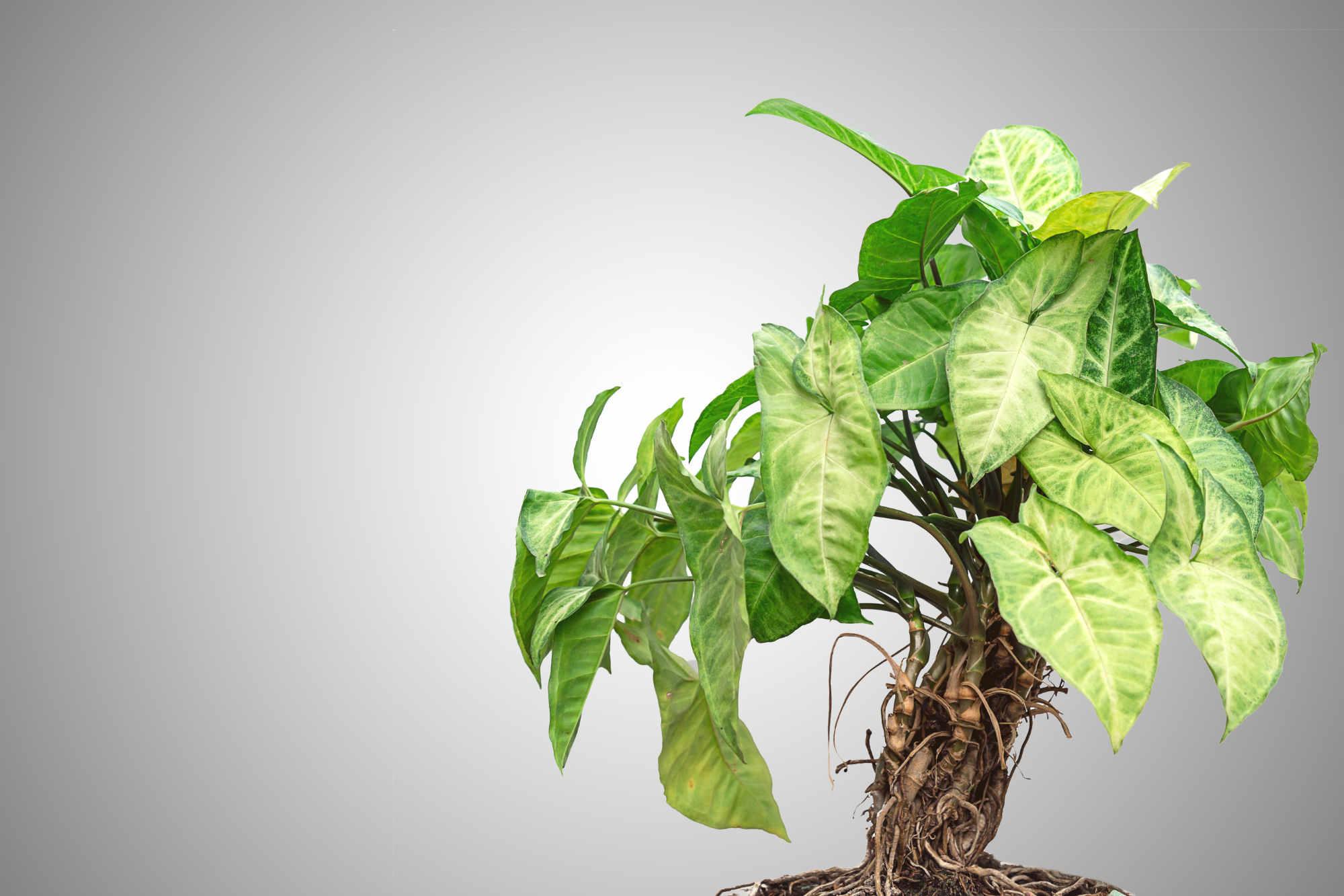 Lierre de pothos génétiquement modifié : une plante d'intérieur pour purifier l'air