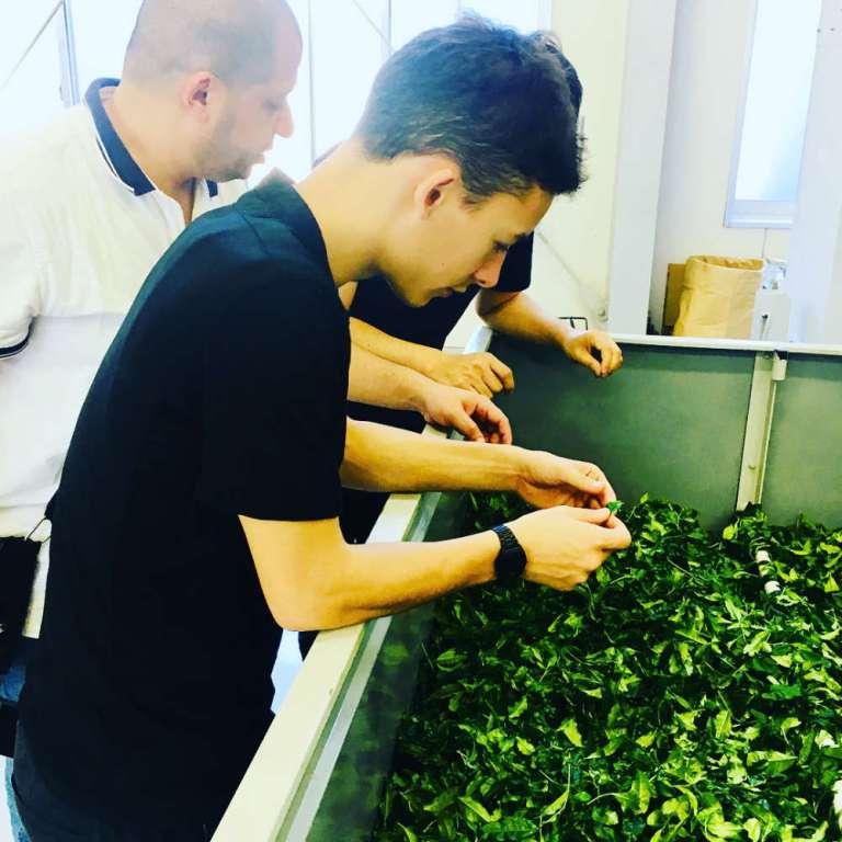 Récolte du thé à Yame