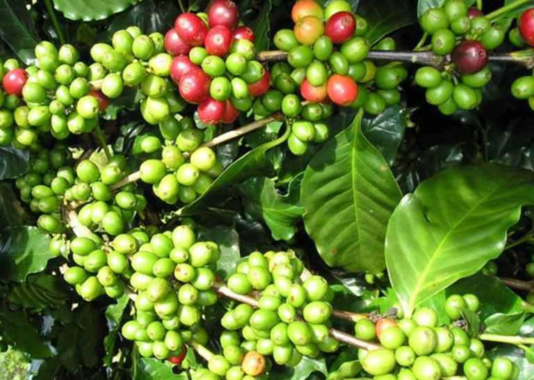 Griffonia Simplicifolia (Bandeiraea simplicifolia)