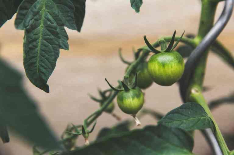 Tomates vertes dans un jardin