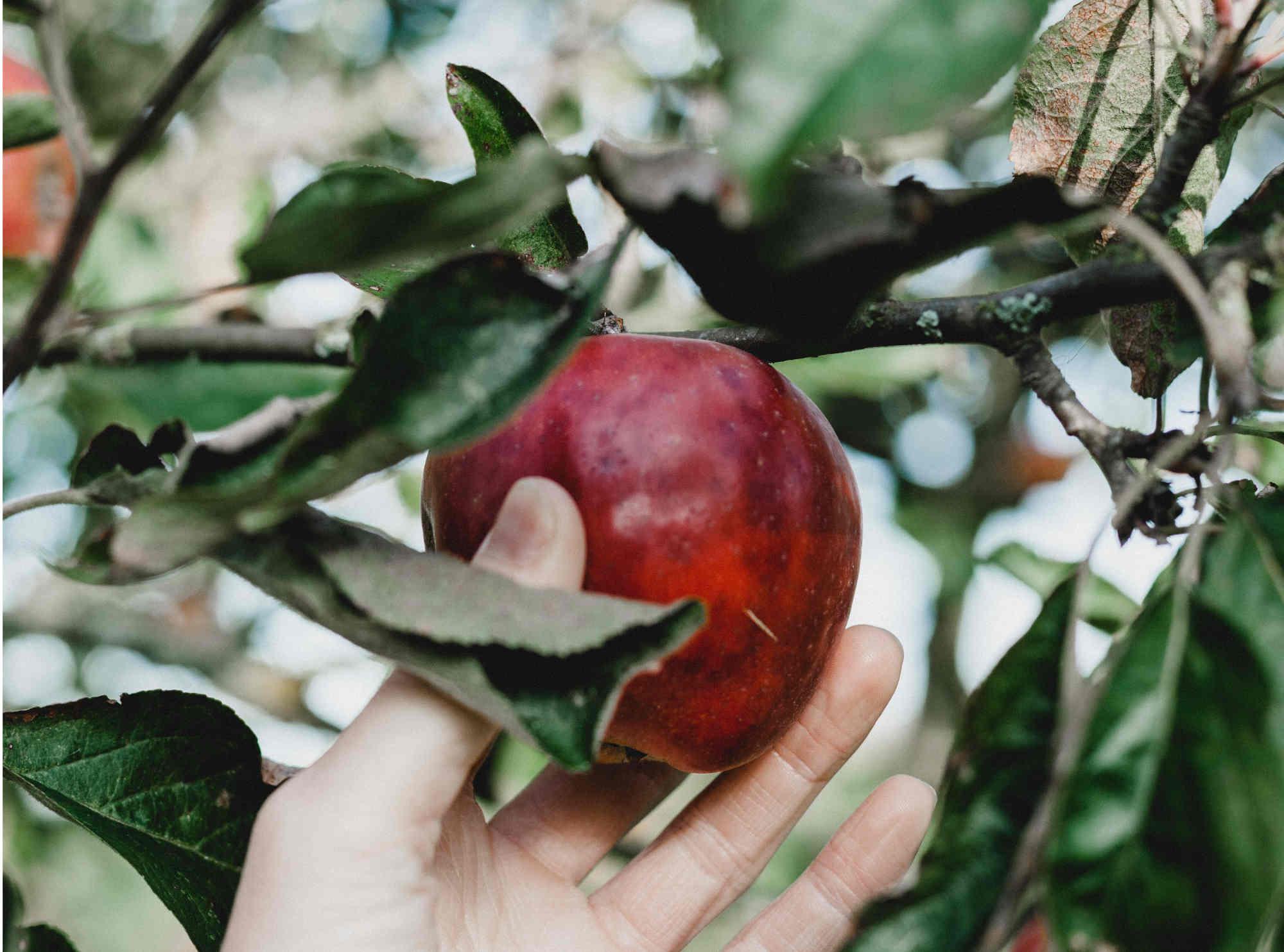 Pourquoi les pommes bio sont meilleures pour la santé ?