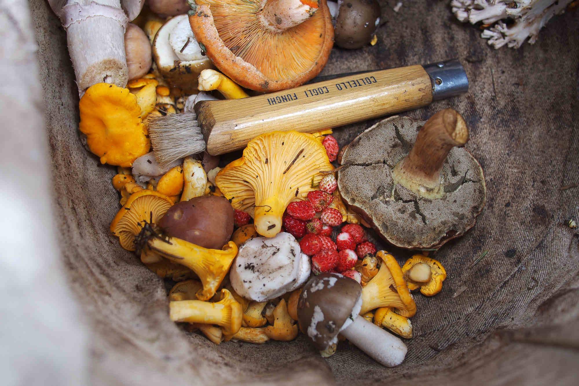 Panier de champignons comestibles