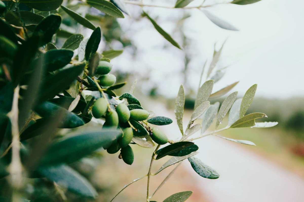 L'huile d'olive aide à ralentir les maladies liées au vieillissement